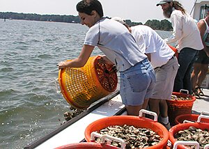 Oyster gardeners tip baskets of grown oysters onto a local oyster reef.